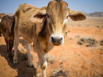 Ritratto di singolo vitello che cammina verso la macchina fotografica nel deserto di Namib, Damaraland, Namibia, Africa meridiona Fotografie Stock