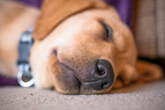 Ritratto di sonno del cane di Labrador Immagine Stock