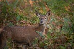 Ritratto di stordimento dei cervi nobili posteriori nella lan variopinta della foresta di autunno fotografie stock libere da diritti