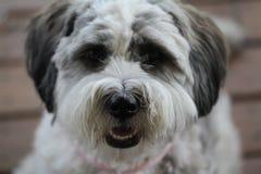 Ritratto di Terrier Fotografie Stock