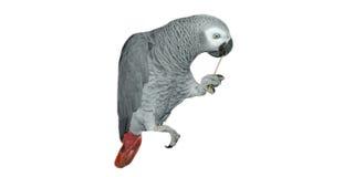 Ritratto di un Africano Grey Parrot del Congo Immagini Stock Libere da Diritti
