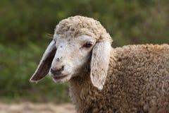 Ritratto di un agnello fotografia stock libera da diritti