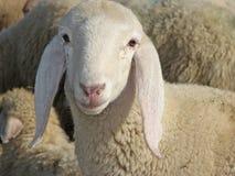 Ritratto di un agnello nel mezzo di grande gregge Fotografia Stock Libera da Diritti