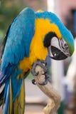 Ritratto di un'ara sudamericana fotografia stock