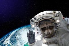 Ritratto di un astronauta del procione nello spazio su fondo del globo Immagine Stock