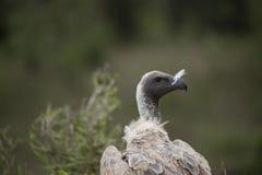 Ritratto di un avvoltoio in Africa immagine stock libera da diritti