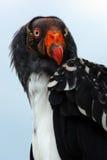 Ritratto di un avvoltoio di re Fotografia Stock