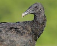 Ritratto di un avvoltoio nero Panama contenuto Immagini Stock