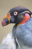 Ritratto di un avvoltoio reale o di uno Zopilote Rey Immagine Stock