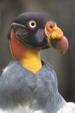 Ritratto di un avvoltoio reale o di uno Zopilote Rey Immagini Stock Libere da Diritti