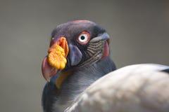 Ritratto di un avvoltoio reale o di uno Zopilote Rey Immagine Stock Libera da Diritti