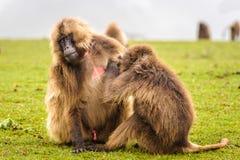 Ritratto di un babbuino Fotografie Stock