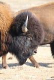 Ritratto di un bisonte americano sul confine 4 del Colorado-Wyoming Fotografia Stock