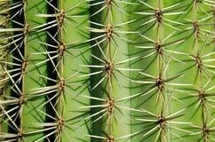 Ritratto di un cactus immagini stock