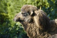 Ritratto di un cammello Immagini Stock