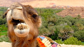 Ritratto di un cammello che riposa vicino ad una foresta della palma in un villaggio di Tinerhir vicino a Georges Todra, Marocco Immagine Stock Libera da Diritti