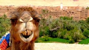 Ritratto di un cammello che riposa vicino ad una foresta della palma in un villaggio di Tinerhir vicino a Georges Todra, Marocco Fotografia Stock Libera da Diritti
