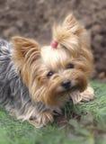 Ritratto di un cane dell'Yorkshire terrier immagine stock libera da diritti