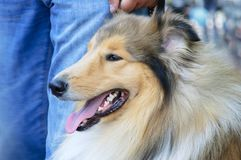 Ritratto di un cane della razza del collie immagini stock libere da diritti