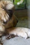 Ritratto di un cane marrone Fotografia Stock Libera da Diritti