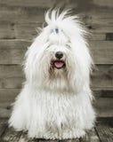 Ritratto di un cane originale di de Tuléar del cotone - il bianco puro gradisce la c Immagine Stock