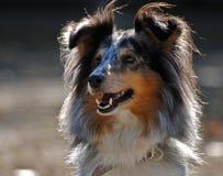 Ritratto di un cane pastore di Shetland (Sheltie) Fotografia Stock Libera da Diritti