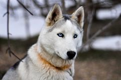 Ritratto di un cane di slitta fotografie stock