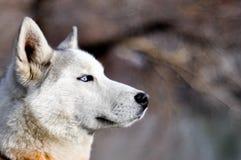 Ritratto di un cane di slitta immagini stock