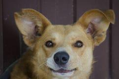 Ritratto di un cane sorridente rosso di uno sguardo divertente fotografia stock