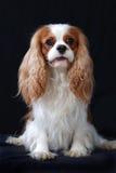 Ritratto di un cane sprezzante dello Spaniel di re Charles. Fotografie Stock Libere da Diritti