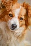 Ritratto di un cane sveglio dell'incrocio Fotografie Stock Libere da Diritti