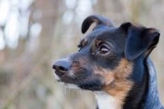 Ritratto di un cane sveglio e attento su fondo confuso fotografie stock libere da diritti