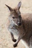Ritratto di un canguro Fotografia Stock