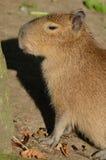 Ritratto di un Capybara Immagini Stock