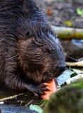 Ritratto di un castoro Fotografia Stock Libera da Diritti