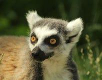 Ritratto di un catta delle lemure delle lemure catta Immagini Stock