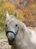 Ritratto di un cavallo bianco Fotografia Stock Libera da Diritti