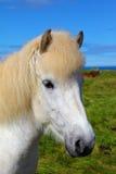 Ritratto di un cavallo bianco con le orecchie marroni Fotografia Stock Libera da Diritti