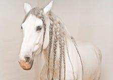 Ritratto di un cavallo bianco con le trecce bianche Immagine Stock