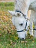 Ritratto di un cavallo bianco sveglio che mangia erba Fotografie Stock