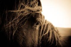 Ritratto di un cavallo dallo Shropshire, Regno Unito fotografia stock libera da diritti