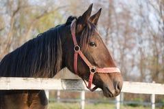 Ritratto di un cavallo di baia di razza nell'azienda agricola Fotografia Stock