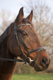 Ritratto di un cavallo di baia furioso della razza della stella polare Fotografia Stock Libera da Diritti