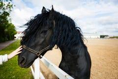 Ritratto di un cavallo frisone Fotografie Stock
