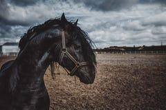 Ritratto di un cavallo frisone Fotografia Stock