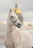 Ritratto di un cavallo grigio contro una cattedrale Fotografie Stock