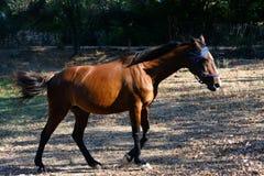 Ritratto di un cavallo marrone arabo anglo fotografia stock libera da diritti