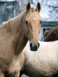 Ritratto di un cavallo marrone chiaro Fotografia Stock Libera da Diritti