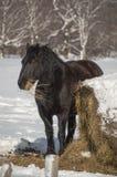 Ritratto di un cavallo nero che mangia fieno nell'orario invernale Fotografia Stock Libera da Diritti