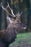 Ritratto di un cervo Immagini Stock Libere da Diritti